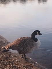 Canada Goose (StaneStane) Tags: töölönlahti tolonlahti suomi finland finska helsinki birds lake goose canadagoose brantacanadensis