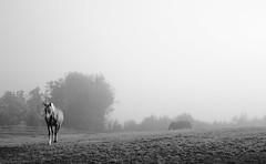 Morning mist (ane_k) Tags: horse mist fog morning sunrise rural landscape bw horses europe norway light magiclight morningglory country fujifilm fujifilmxt10 xt10