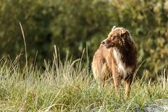 beauty (FotoHolst) Tags: shepherd australian dog aussie tier outdoor haustier hund schrfentiefe fotoholst sugetier fotorahmen