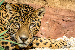 Jaguar Relaxing (tspottr723) Tags: nature zoo turtle back west orange nj new jersey jaguar cat feline predator nikon d7100 tamron 150600 relazing animal mammal beast
