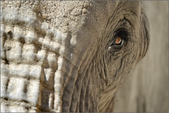 The eye (Jose Antonio Pascoalinho) Tags: eye animal closeup zoo nikon eyecontact dof lisbon elephants paquiderme zedith afsnilkkor200400mm14vr