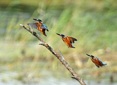 KINGFISHER LANDING at Strumpshaw Fen (jdoakey) Tags: uk greatbritain blue england brown colour detail eye reed beautiful up animal speed reeds fly flying wings fishing pretty day branch colours close feeding display britain snake gorgeous branches sony great norfolk flight wing beak feathers feather fast landing clear kingfisher stunning norwich land british spotted lovely alpha soaring gliding dslr favourite fen soe animalplanet oakley clearsky bif reedbed birdinflight strumpshaw a55 thewildlife strumpshawfen flickraward avianexcellence dslt sal70400g sony70400 flickraward flickraward5 flickrawardgallery sonya55 theinspirationgroup