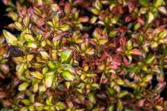 Coprosma 'Evening Glow' (Melissa-Gale) Tags: red orange green yellow photography gold nursery melissa gale mg foliage evergreen gail variegated shrub hybrid wholesale gorman berard eveningglow coprosma melissagale nativesons mirrorplant melissagalephotography mg01066
