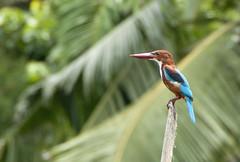 Kingfisher (yuyu418) Tags: sea bird river coast asia safari kingfisher tropical srilanka maduganga balapitiya maduriver