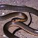Chinese Rat-snake (Ptyas korros)