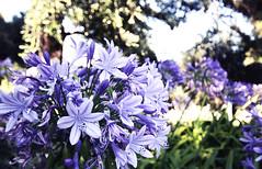 Agapanthus praecox (frasse21) Tags: blue garden dof lily angle sebastian bokeh african wide nile agapanthus 1020 bl lilja rothschild fransson praecox ubani afrikas agapant isicakathi bloulelie sebastianfransson frasse21