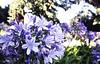 Agapanthus praecox (frasse21) Tags: blue garden dof lily angle sebastian bokeh african wide nile agapanthus 1020 blå lilja rothschild fransson praecox ubani afrikas agapant isicakathi bloulelie sebastianfransson frasse21