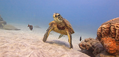 bottom (bluewavechris) Tags: ocean life blue sea brown green nature water animal coral swim canon hawaii sand marine underwater snorkel turtle reptile wildlife dive shell maui reef creature flipper
