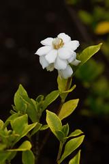 Common gardenia (peaceful-jp-scenery (busy)) Tags: flower garden sony 日本 bandai α listel 福島 inawashiro dslra100 猪苗代 minoltaafmacro100mmf28 リステル