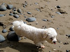 Poppy (russelljsmith) Tags: winter newzealand dog sun beach face sunshine nose coast eyes sand poppy lovely sundaydrive firthofthames 77285mm waitibay