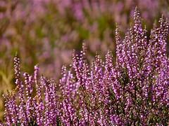 Heather . (Franc Le Blanc .) Tags: flowers nature closeup lumix flora heather ngc panasonic heide drunen