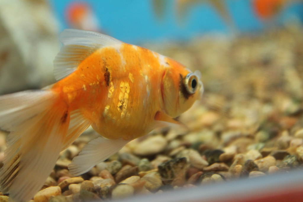 The gallery for petco goldfish for Feeder fish petco