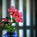 26060 - Catharanthus roseus