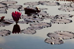 Red Water lily and reflection (Lucie Maru) Tags: red summer flower water reflections pond lily reflect lilies bloom redflower comopark redbloom flowersonwater bloominglilies