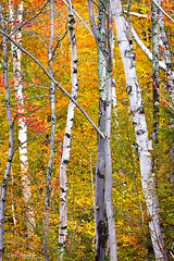 Happy Little Trees ([Chris Tennant]) Tags: statepark autumn trees ny newyork fall nature colors forest woods upstate adirondacks hike foliage birch keene 100400mm adk 5dmkii christennantphotography