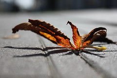 Coming Fall (Rajna-T) Tags: autumn shadow fall leaf chestnut gesztenye levl rnyk falevl