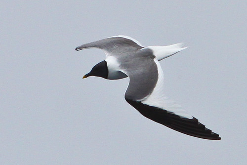 <p>Sabine's Gulls breed in the high Arctic and migrate offshore to offshore waters in Chile and Peru. They have a unique pattern of grey back, white triangle on wings, and then a black triangle on the outer part of the wing. The yellow-tipped dark bill is unique. </p>