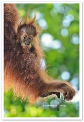 Big Foot (TOONMAN_blchin) Tags: orangutan singaporezoo thegalaxy toonman mygearandme mygearandmepremium mygearandmebronze mygearandmesilver mygearandmegold