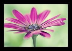 Summer in My Garden: Pink African Daisy (Osteospermum) (Mikaela Mueller) Tags: flowers macro closeup canon garden photography flora daisy africandaisy osteospermum pinkdaisy canonef100mmf28macrousm canoneos5dmarkiii limberea