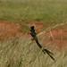 Passarinho muito comum na Africa do Sul
