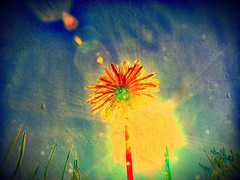 A Summer Memory (Dave Linscheid) Tags: summer usa sun hot texture minnesota weed heat dandilion butterfield texturized magicunicornverybest bestevercompetitiongroup