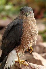 Cooper's Hawk (Accipiter cooperii) (Sharon's Bird Photos) Tags: nature backyard wildlife birding northdakota coopershawk accipitercooperii dailynaturetnc12 photoofthedaynwf12