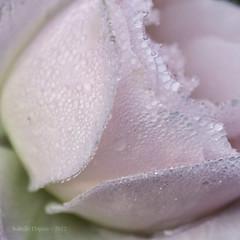 petite douceur (i.dupuis) Tags: pink flower macro nature fleur rose pluie dewdrop raindrop douceur rose vgtaux gouttelette goutteeau