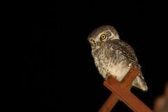 Spotted Owlet, Athene Brama (BehzadJL) Tags: india bird nature wildlife behzad spottedowlet athenebrama behzadlarry