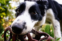 Fate is 25 weeks old (Crawford Canines) Tags: bordercollies puppy dog animal mammal ball holleeroller fetch outdoors grass summer
