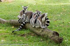DSC_2405 (Pascal Gianoli) Tags: beauval lemur lmurien zoo zooparc saintaignansurcher centrevaldeloire france fr pascal gianoli pascalgianoli