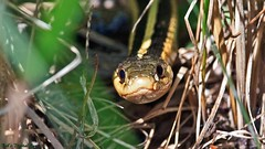 'Snake in the Grass' (Bob's Digital Eye) Tags: nature animal closeup canon eyes flickr outdoor reptile snake wildlife depthoffield flicker t3i gartersnake canonefs55250mmf456isstm bobsdigitaleye