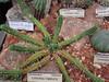 Euphorbia Fimbriata (sftrajan) Tags: greenhouse euphorbia botany hothouse gewächshaus serre desertplants invernadero southafricanplants universityofcaliforniabotanicalgardenatberkeley universityofcaliforniabotanicgarden euphorbiafimbriata