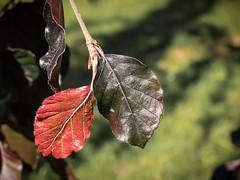 Red and black - LR6-7190280-web (David Norfolk) Tags: westonbirt england unitedkingdom gb olympus epl7 30mm sigma