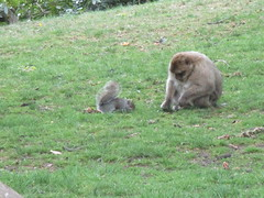Trentham Monkey Forest (louisejaynemunton) Tags: trenthammonkeyforest takenin2016 barbarymacaque england monkey staffordshire