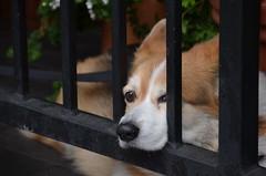 he wants to get out (Hayashina) Tags: dog fence london londonsquare hff
