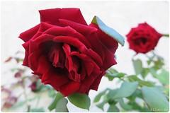 Velours (nathaliedunaigre) Tags: fleurs flowers roses red rouge texture nature jardin garden douceur sweetness love amour