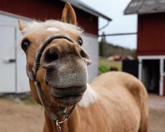 A Failed Portrait (Joakim Billebo) Tags: shallow portrait sweden shallowdepthoffield closeup horse curious vrmland