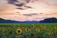 Sunflower Field before Sunset (FengboLi) Tags: sunflower sunset sun light clouds pink purple gold floral blossom mountains trees field meadow vibrant asheville northcarolina