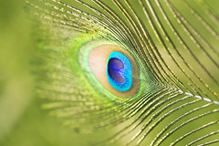 Eye of the beholden (paloetic) Tags: colourful dragonpapillonphotography feather macrophotography nature peacock splendid stunning vibrant nsw australia aus