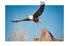 Beyond borders (anderswotzke) Tags: africanfisheagle fisheagle eagle bird birds bif chobe river nature animal colour color outdoors a7rii africa dubai sony