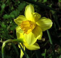 Narcisos (jagar41_ Juan Antonio) Tags: narcissus narciso flores flora floracin flor