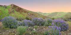 Lupine Garden (James L. Snyder) Tags: lupinusalbifrons silverlupine silverbushlupine whiteleafbushlupine evergreenlupine lupine perennial blossoms blossoming wildflowers flowers grass shrubs bushes peak foothills hills mountains canyon meadow gravel rocks garden countypark park native flat level vernal seasonal calm verdant riparian rural country violet purple periwinkle blue green brown peach rose pastel colorful soft delicate cloudless clear tranquil peaceful wintonpark northpiedraroad easttrimmerspringsroad kingsriver redmountain westernsierra sierranevada sierra sanger fresnocounty california usa horizontal panorama nightfall dusk gloaming twilight sunset late evening march winter 2016