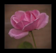 Tea rose (mini-b) Tags: flowers inthegarden roses closeup canon eos5dmkii 100mmef28lisusm 2016 tearose