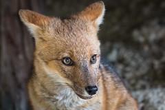 Patagonian fox (Vaclav Klicnik) Tags: 2016 chile dovolen lika np patagonie torresdelpaine trekking valleascencio wcircuit zima jinamerika torresdepaine regindemagallanesydelaan regindemagallanesydelaantrticachilena cl
