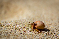 Herby (kagazdow) Tags: crab hermit sand