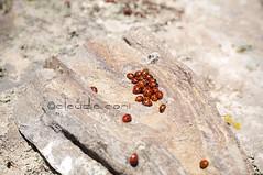 Fortuna porta_fortuna (cocciula) Tags: coccinella coleottero insetto fortuna gennargentu caldo ombra riparo coccinellidae artropodi coleoptera 7punti luck gruppo claaauuu