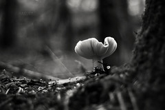 * The lives of the obscure Woods * (-ABLOK-) Tags: mushrooms mushroom champi champignons nature vgtal noir et blanc black white nikon d300s nikkor 50 fort wood woods tree arbres bois mousse vgtation auvergne cueillette