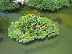More lillies (Jim Higgins Photos) Tags: waterlillies pond