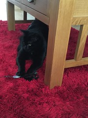 IMG_5372 (cardiff.petcare) Tags: cutecat funnycat catpictures