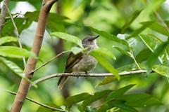 20160812-7D2_5414 (shutterblades) Tags: birds bulbul canon100400lmkii canon7d2 mandaizoo riversafari singaporezoo
